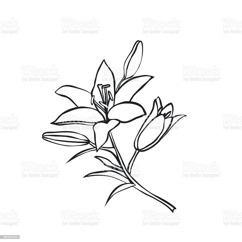 Lírio Desenho Sobre Fundo Branco Download Vetor e