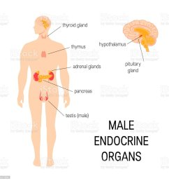 male endocrine organs simple vector infographic in flat style royalty free male endocrine organs [ 1024 x 1024 Pixel ]