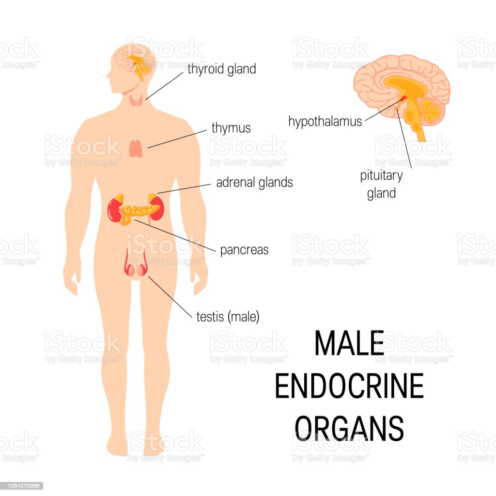 hight resolution of male endocrine organs simple vector infographic in flat style royalty free male endocrine organs