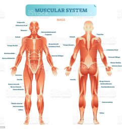 male muscular system full anatomical body diagram with muscle scheme vector illustration educational poster illustration  [ 1024 x 995 Pixel ]