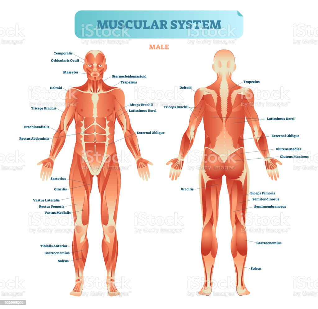 hight resolution of male muscular system full anatomical body diagram with muscle scheme vector illustration educational poster illustration