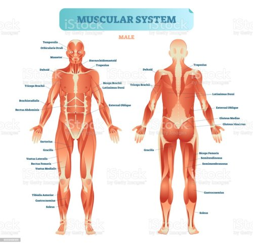 small resolution of male muscular system full anatomical body diagram with muscle scheme vector illustration educational poster illustration
