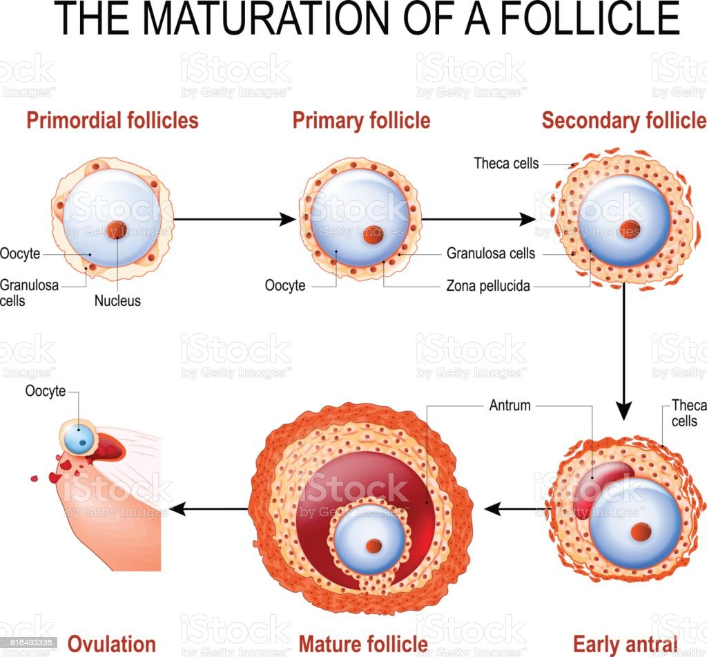 hight resolution of maturation of a follicle royalty free maturation of a follicle stock illustration download image