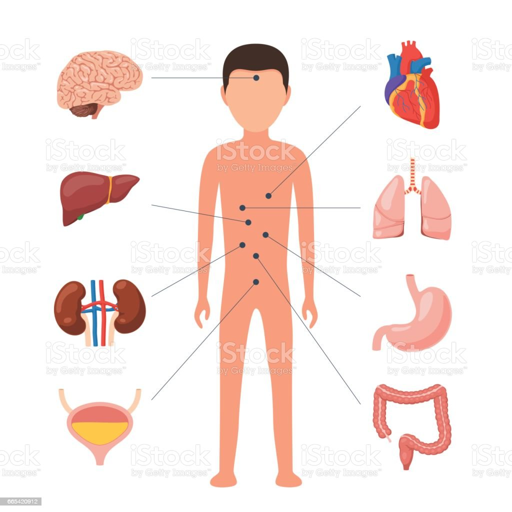 hight resolution of medical diagram human organs royalty free medical diagram human organs stock vector art amp