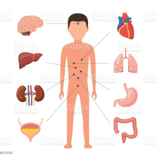 small resolution of medical diagram human organs royalty free medical diagram human organs stock vector art amp