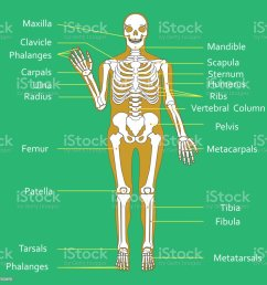 medical education chart of biology for human skeleton diagram vector illustration royalty free medical [ 1024 x 1024 Pixel ]