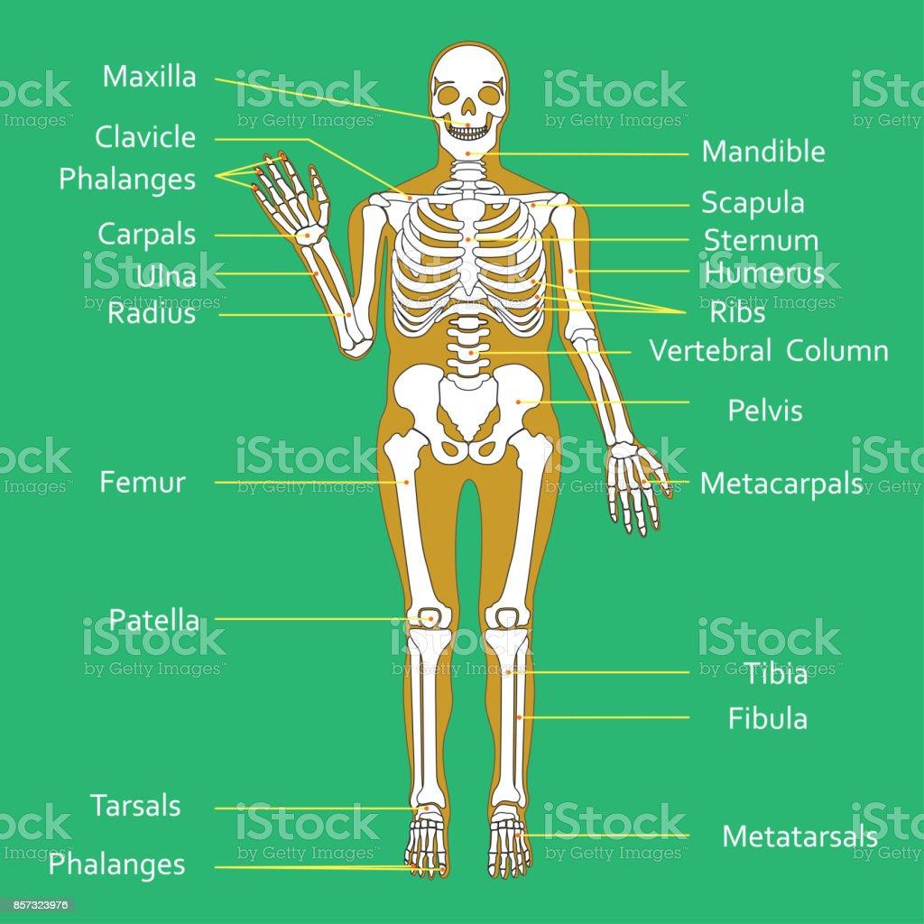 hight resolution of medical education chart of biology for human skeleton diagram vector illustration royalty free medical