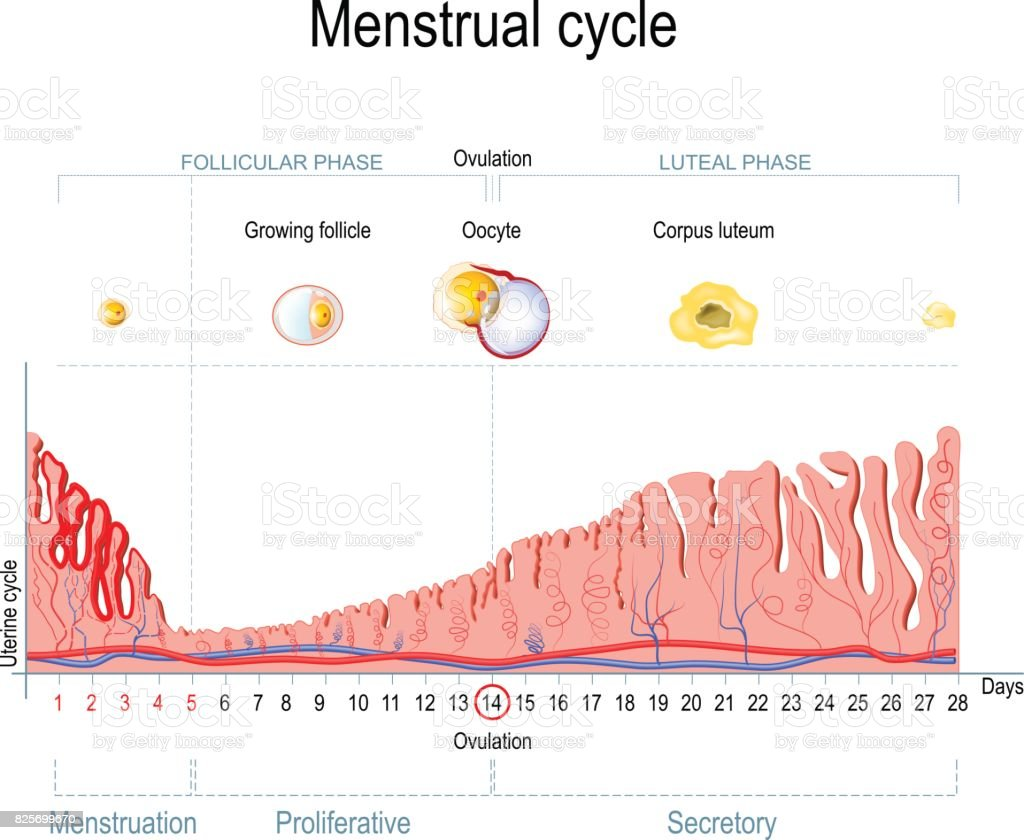 menstrual cycle diagram with ovulation wiring for fender squier strat stock vector art and more images of anatomy