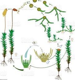 moss life cycle diagram of life cycle of common haircap moss diagram of moss [ 926 x 1024 Pixel ]
