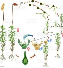 diagram of life cycle of common haircap moss polytrichum commune  [ 1022 x 1024 Pixel ]