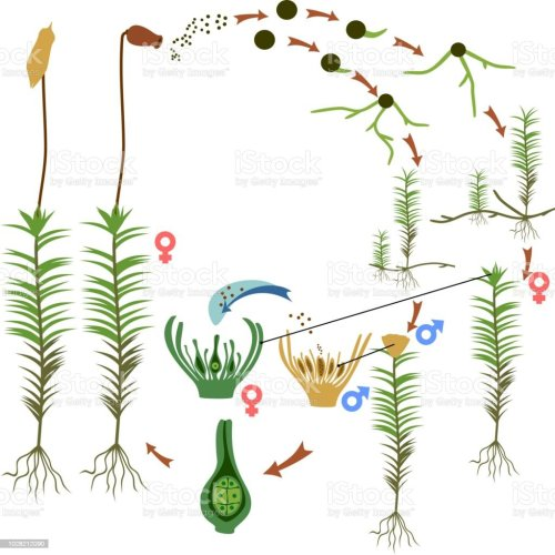 small resolution of diagram of life cycle of common haircap moss polytrichum commune