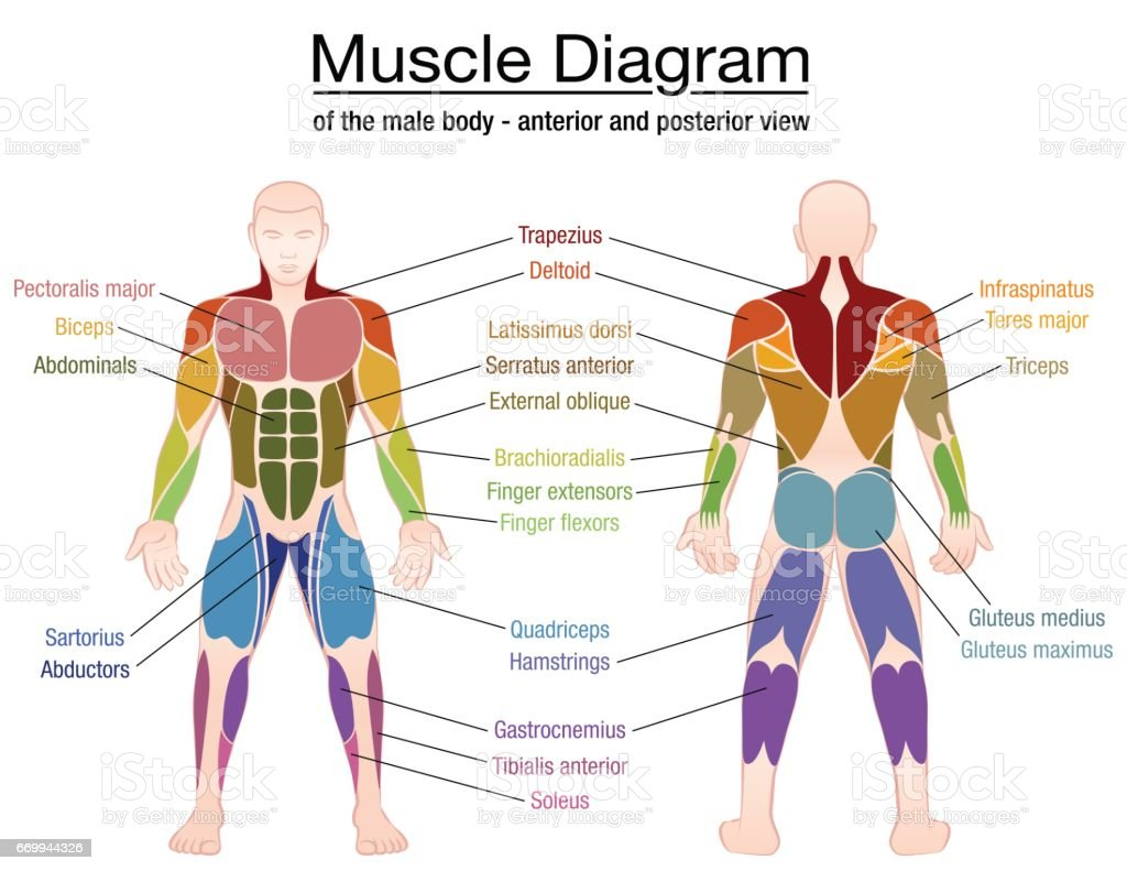 muscles in your arm diagram ford mondeo mk4 headlight wiring muscle most important of an athletic male