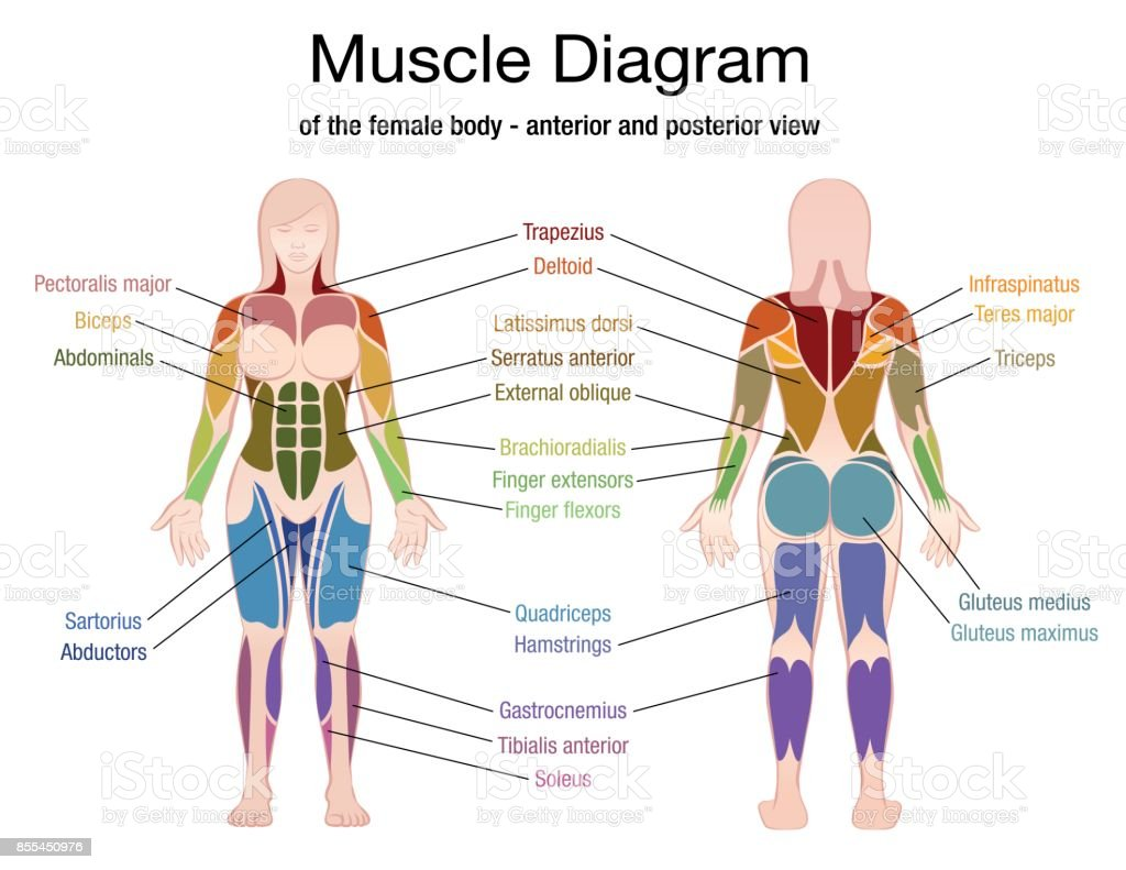 Muscle Diagram Of The Female Body With Accurate