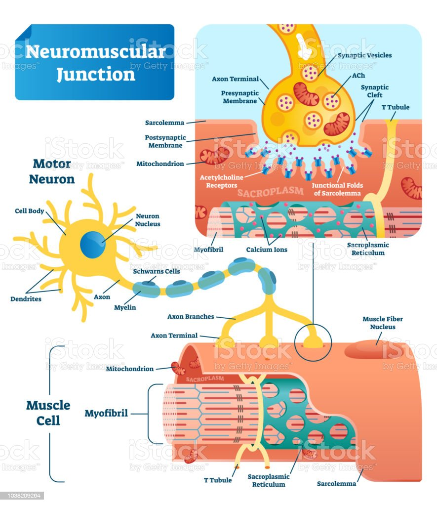 Image of: Labeled Diagram Neuromuscular Junction Vector Illustration Scheme Labeled Cell Infographic Illustration Shutterstock Neuromuscular Junction Vector Illustration Scheme Labeled Cell