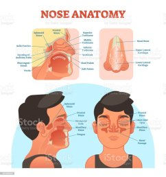 nose anatomy medical vector illustration diagram royalty free nose anatomy medical vector illustration diagram [ 961 x 1024 Pixel ]