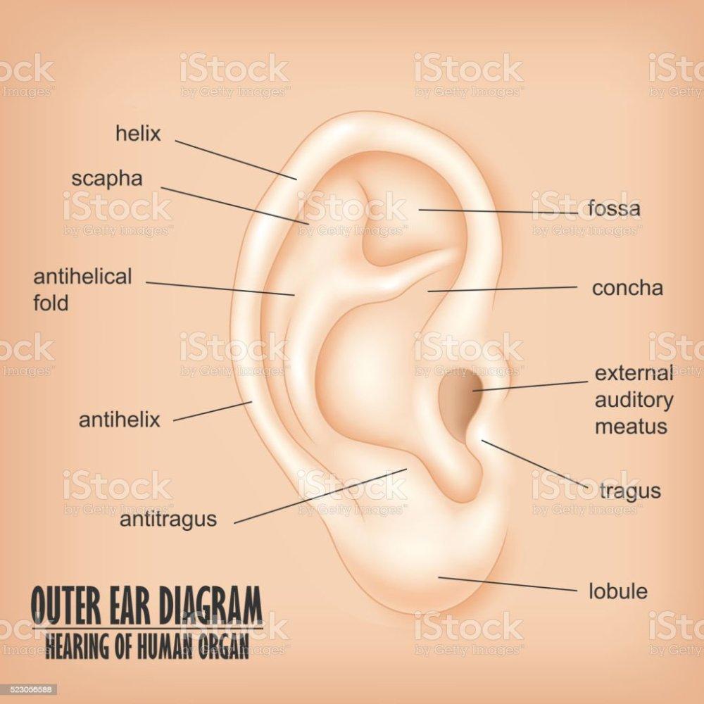 medium resolution of outer ear diagram hearing of human organ royalty free outer ear diagram hearing of human