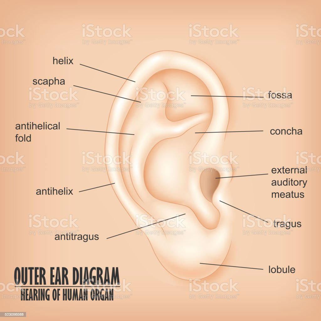 hight resolution of outer ear diagram hearing of human organ royalty free outer ear diagram hearing of human