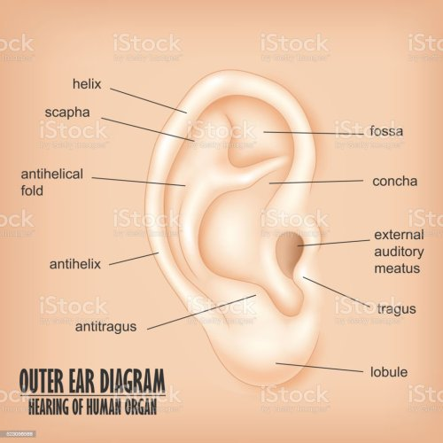small resolution of outer ear diagram hearing of human organ royalty free outer ear diagram hearing of human