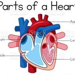 Interior Heart Diagram Audi A6 C6 Brake Light Wiring Schematic Parts Of Stock Vector Art U0026 More Images Aorta