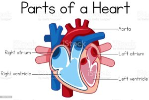Parts Of Heart Diagram Stock Illustration  Download Image