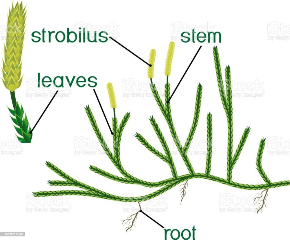 medium resolution of parts of plant structure of clubmoss or lycopodium running clubmoss or lycopodium clavatum sporophyte with titles illustration