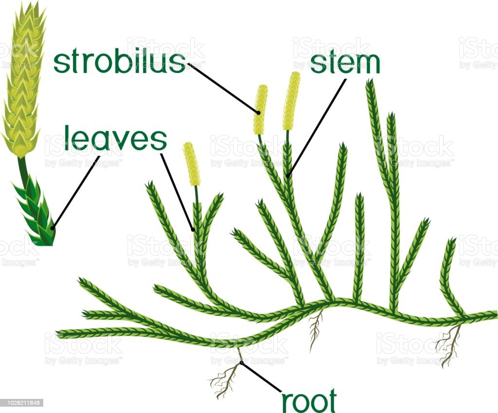 hight resolution of parts of plant structure of clubmoss or lycopodium running clubmoss or lycopodium clavatum sporophyte with titles illustration