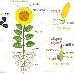 Parts Of A Sunflower Diagram Led Toggle Switch Wiring Ilustración De Partes La Planta Girasol Morfología