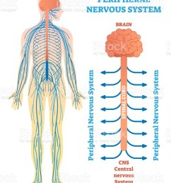 peripheral nervous system medical vector illustration diagram with brain spinal cord and nerves  [ 796 x 1024 Pixel ]