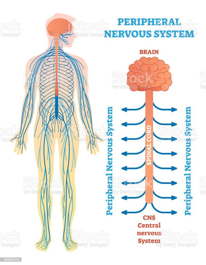 medium resolution of peripheral nervous system medical vector illustration diagram with brain spinal cord and nerves