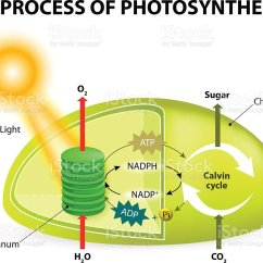 Draw A Diagram Of Photosynthesis Wiring Two Three Way Switches Stock Vector Art And More Images 2015