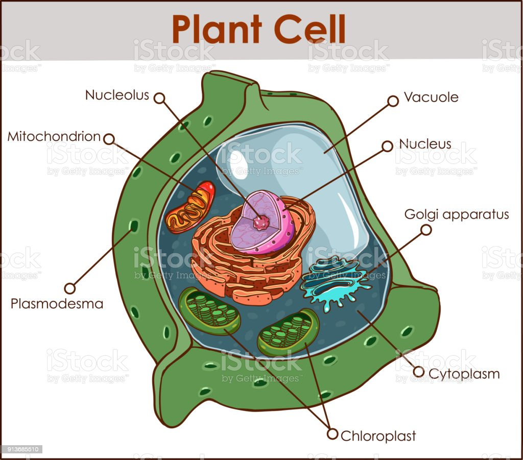 A Plant Cell Diagram