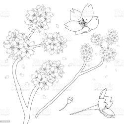 cherry blossom outline flower sakura prunus national japan serrulata coloring vector