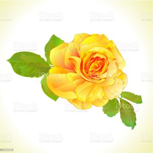 rose yellow vector illustrations clip background botanical illustration graphics vectors