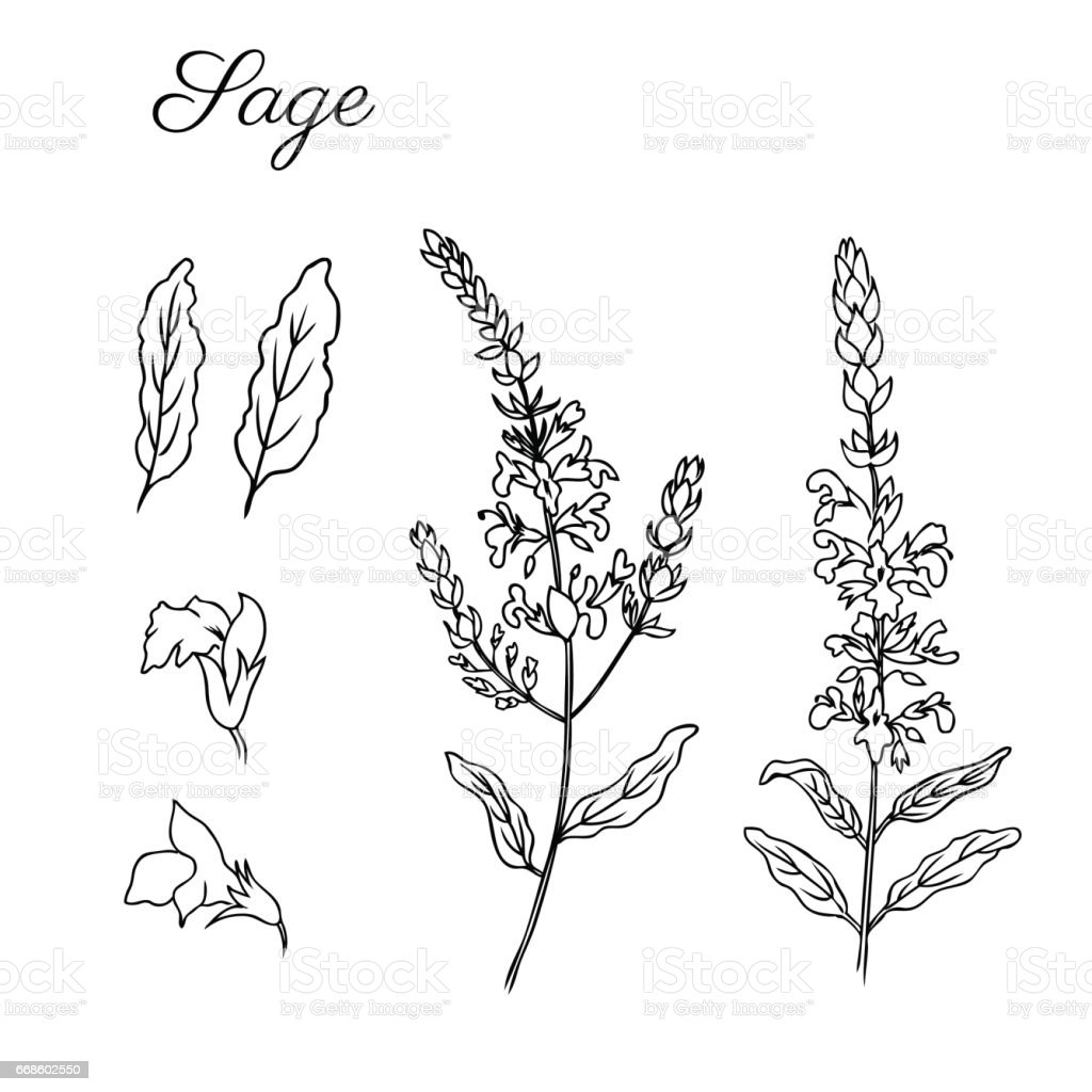 Sage Flower Vector Isolated On White Background Hand Drawn