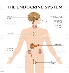 schematic colorful vector illustration of male endocrine system royalty free schematic colorful vector illustration of [ 1024 x 1024 Pixel ]