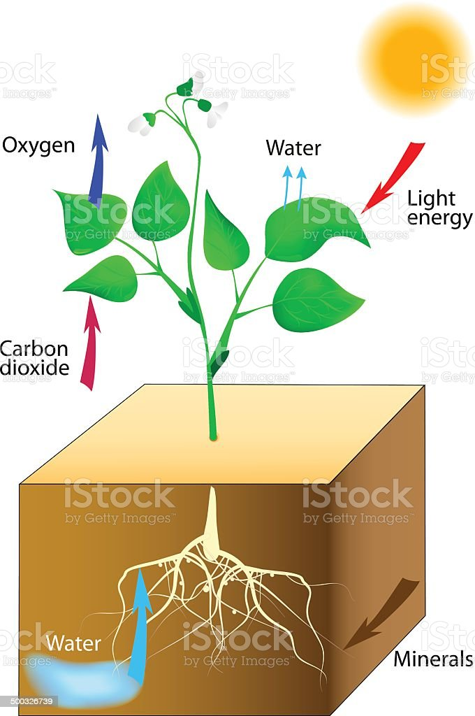 Schematic Of Photosynthesis In Plants Stock Vector Art