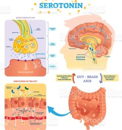 serototin vector illustration labeled diagram with gut brain axis and cns royalty free [ 883 x 1024 Pixel ]