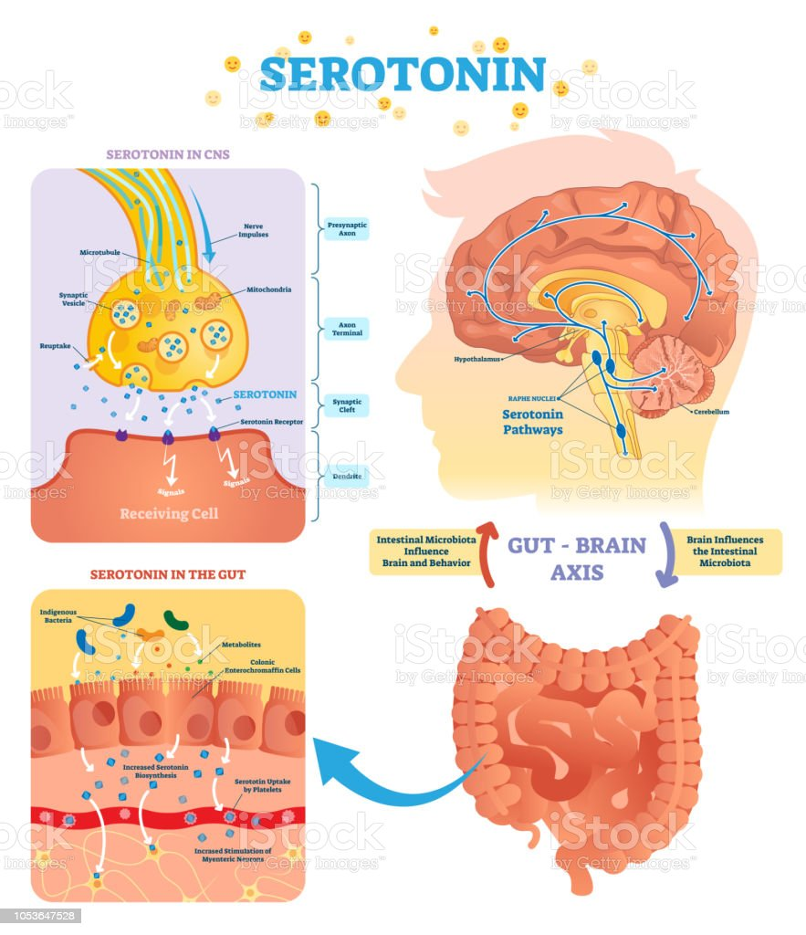 hight resolution of serototin vector illustration labeled diagram with gut brain axis and cns royalty free