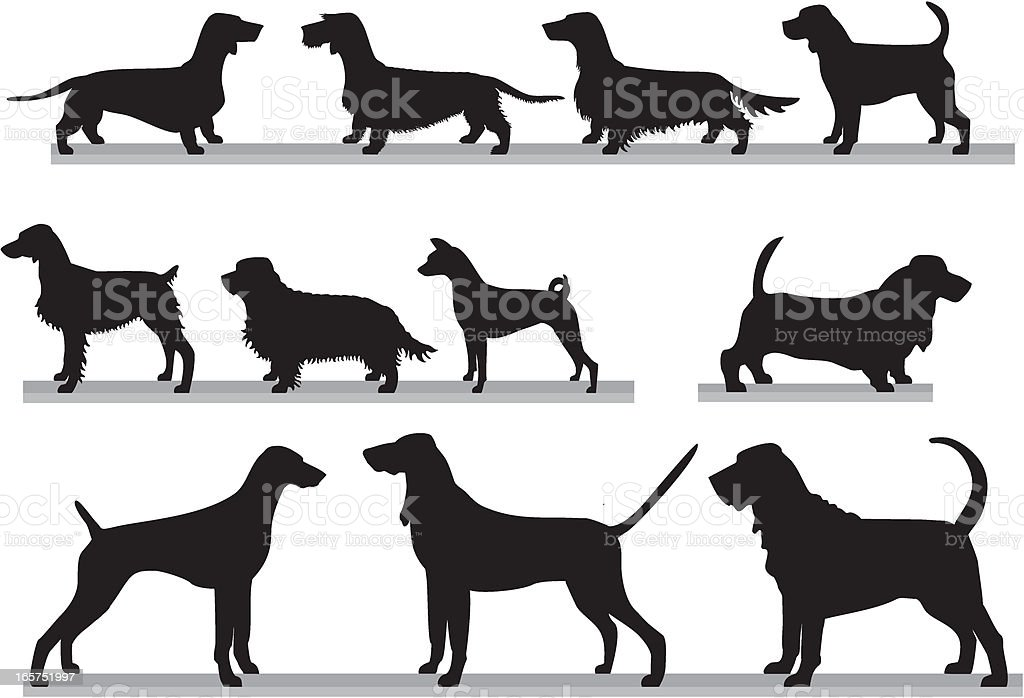 royalty free long haired dachshund