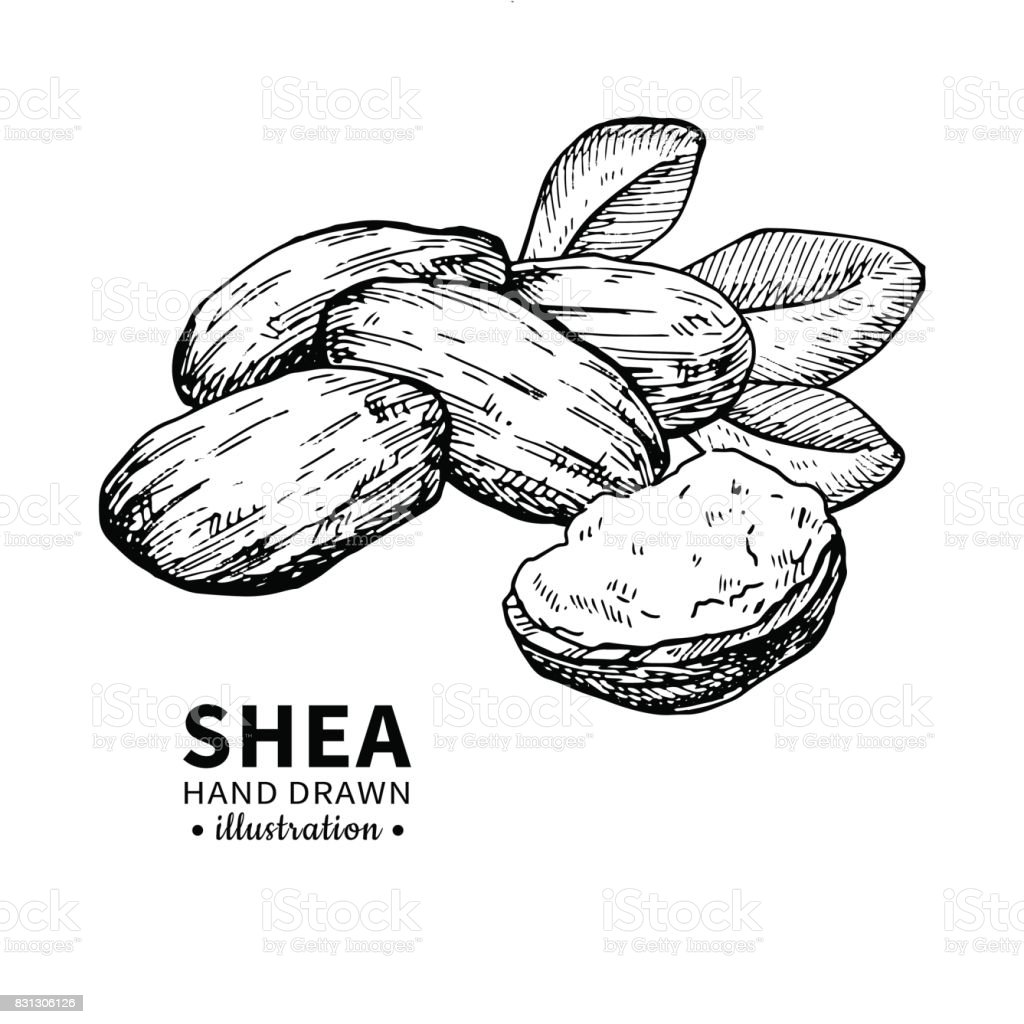 Shea Butter Vector Drawing Isolated Vintage Illustration