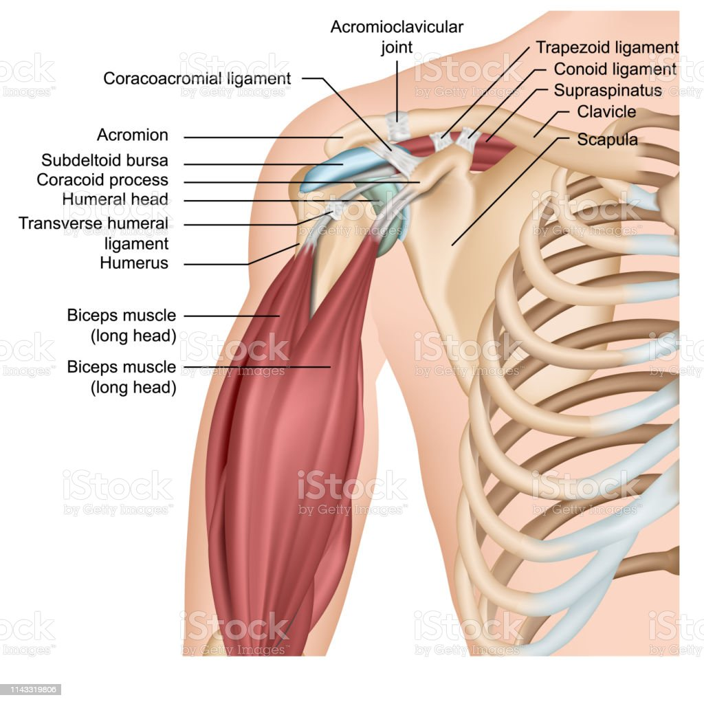 hight resolution of shoulder anatomy 3d medical vector illustration with arm muscles royalty free shoulder anatomy 3d medical