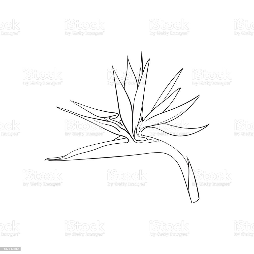 Drawing Bird Paradise Tropical Flower