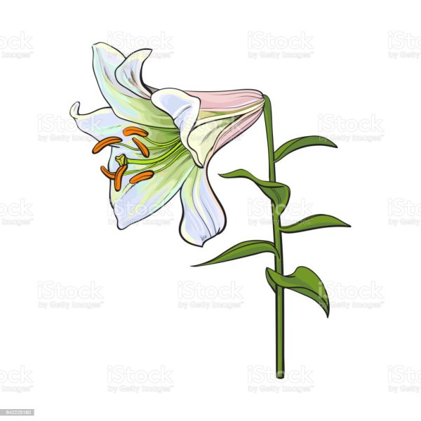 Single White Lily Flower With Stem And Leaves Side View