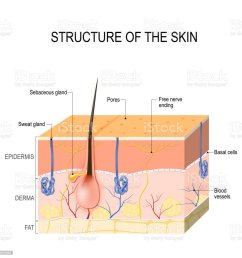 skin layers with glands sebaceous and sweat glands royalty free skin layers [ 1024 x 1024 Pixel ]
