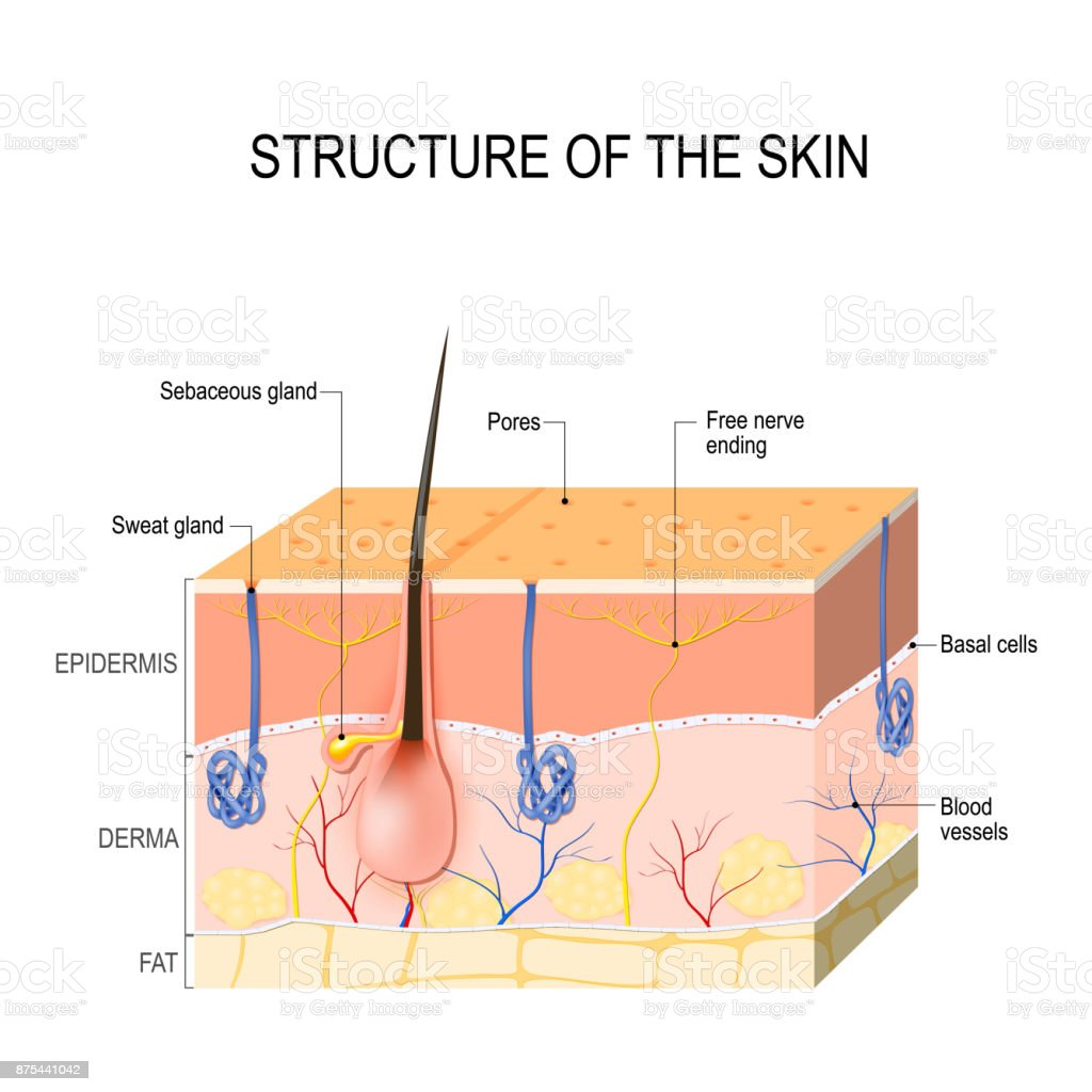 hight resolution of skin layers with glands sebaceous and sweat glands royalty free skin layers