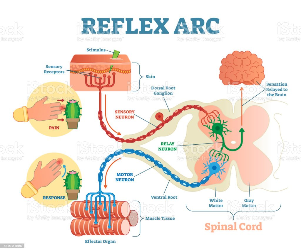 reflex arc diagram robertshaw st thermostat wiring spinal anatomical scheme vector illustration