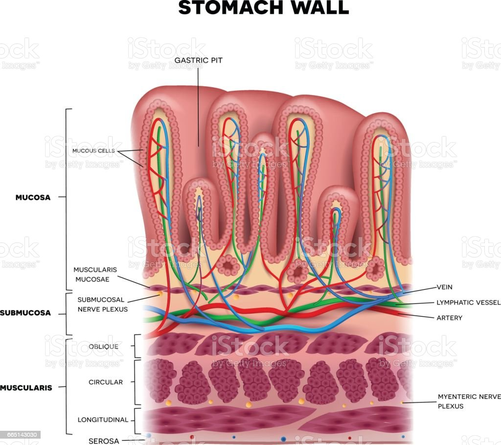 Layers Of Abdominal Wall Diagram Stomach Wall Layers Detailed Anatomy Stock Vector Art