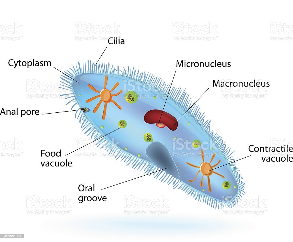 hight resolution of structure of a paramecium illustration