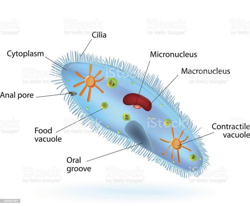 small resolution of structure of a paramecium illustration