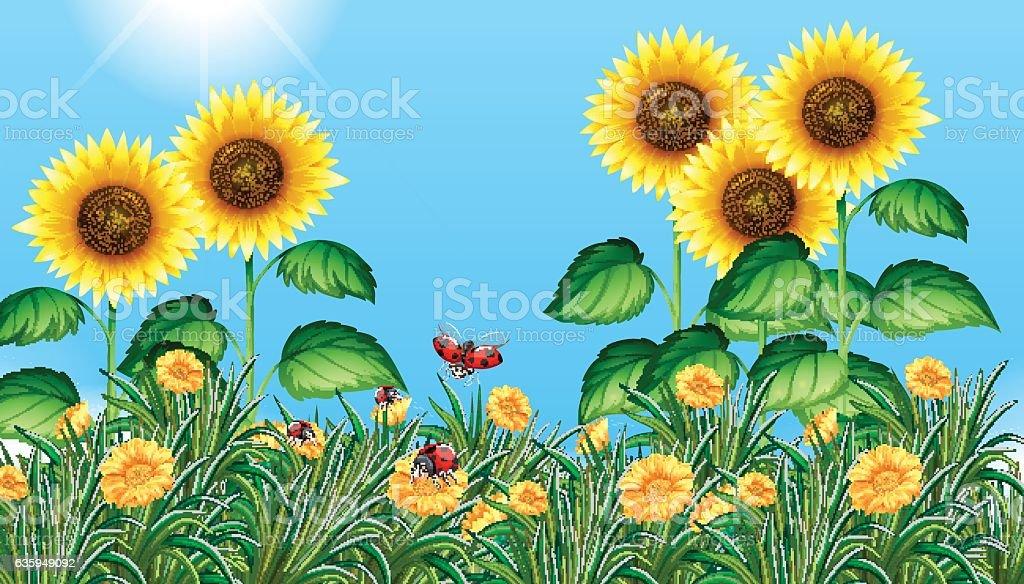 royalty free sunflower with ladybugs